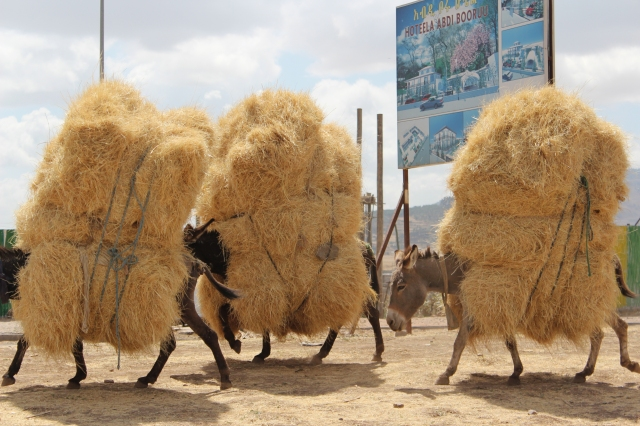 three donkeys loaded with teff straw
