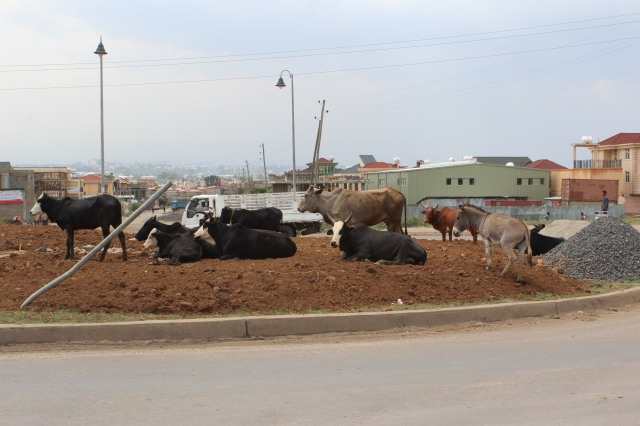 The day before Easter, cattle for sale in the roundabout next to our apartment.