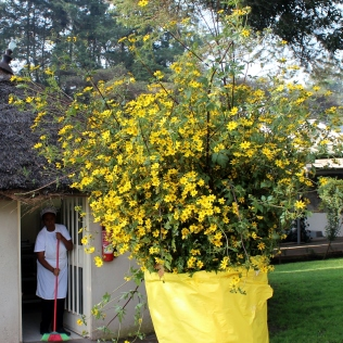 Bright yellow Meskal flowers always figure in the holiday decorations.