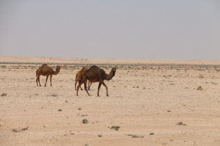 Camels here are a furry variety